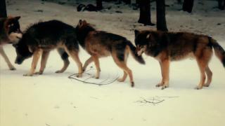 Predator Canids