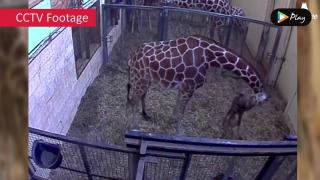 EP 10 - Giraffe Calf