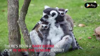 EP 13 - Baby Lemurs