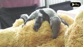 EP 18 - Say Hello To Beanie,The Baby Giant Anteater